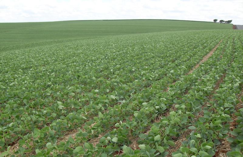 Ett fält med sojabönor