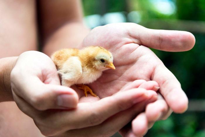 Händer som håller en kyckling