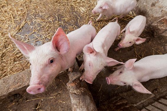 Nyfikna griskultingar som tittar in i kameran