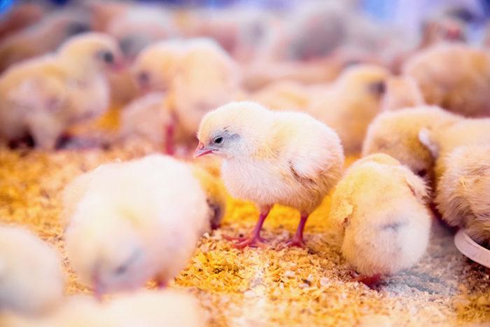 Kycklingar i produktion