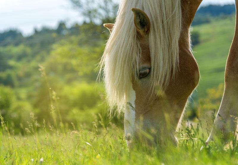 Betande häst på äng