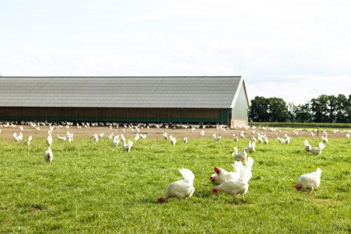 Ekologiska höns framför ett hönsstall.