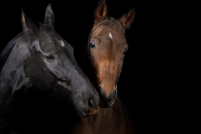 Hästar med svart bakgrund