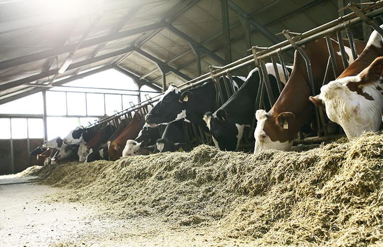 Kor äter ensilage
