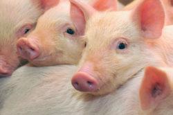 Tillskott till grisar