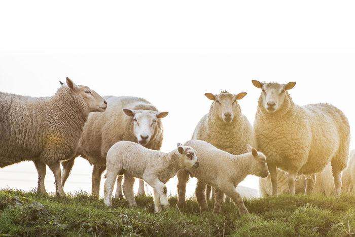 Fårfamilj med nya lamm