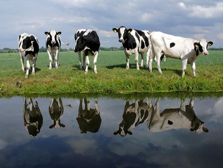 Kor som speglas i vattendrag