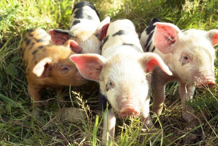 Tre griskultingar stående i högt gräs