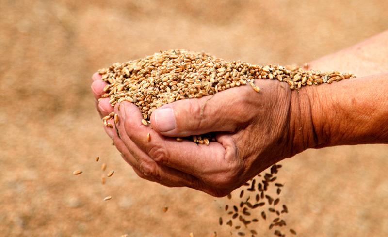 Hand som håller spannmål