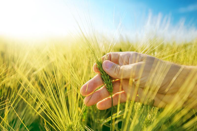 Bild på en hand som håller i korn med ett kornfält i bakgrunden