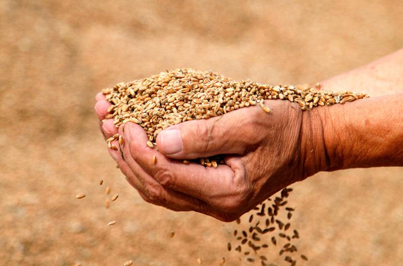 Kupad hand som håller i spannmål
