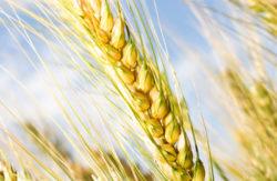 Bild på korn