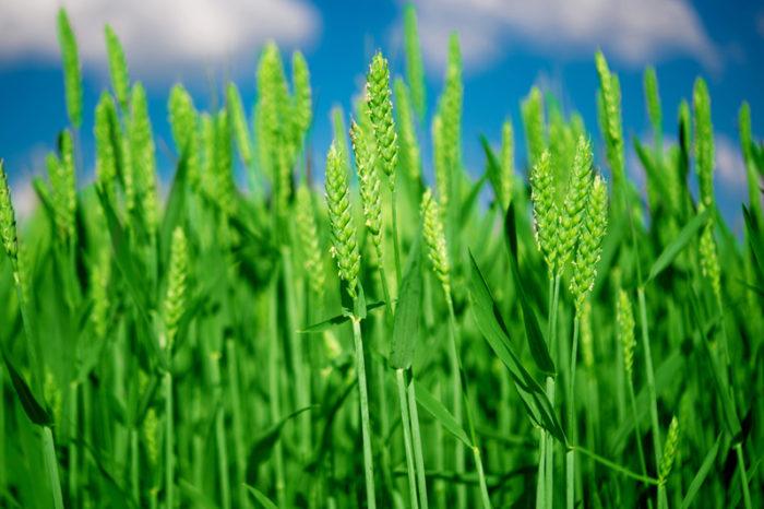 Omoget grönt vete