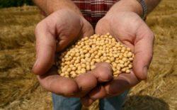 Bild på en hand som håller i sojabönor