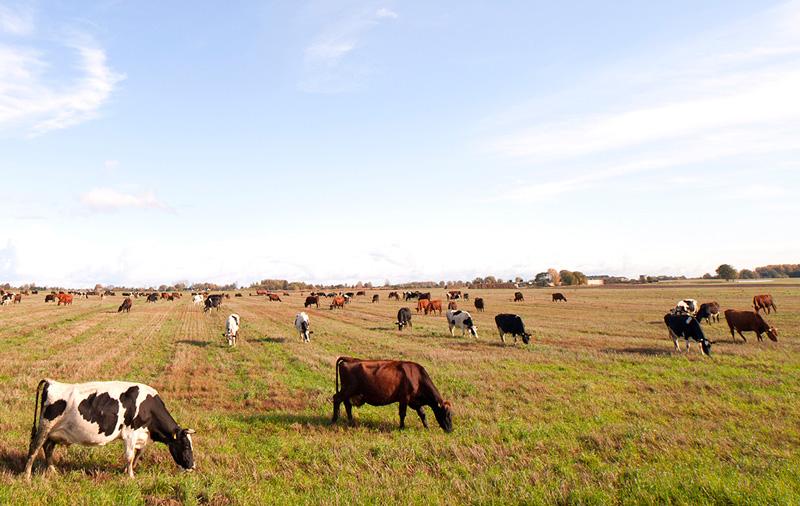 Kossor ute på fält