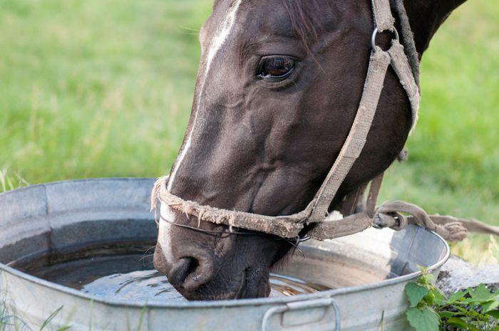 Häst som dricker vatten