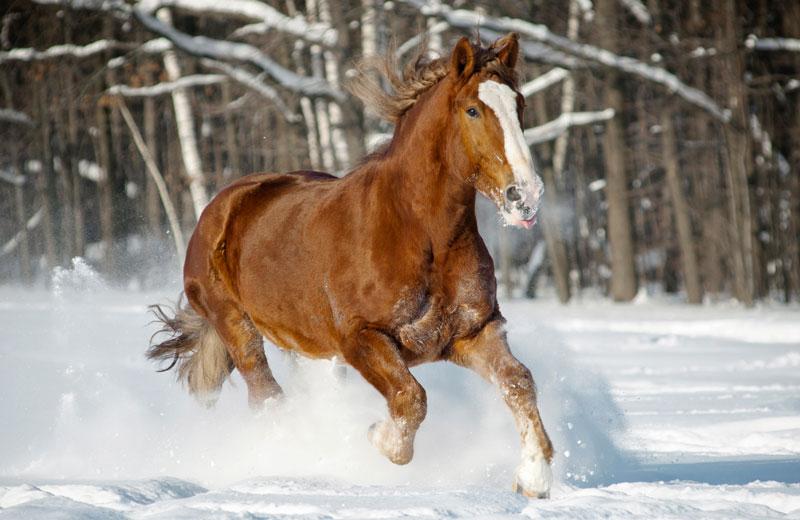 Häst galopperande i snö