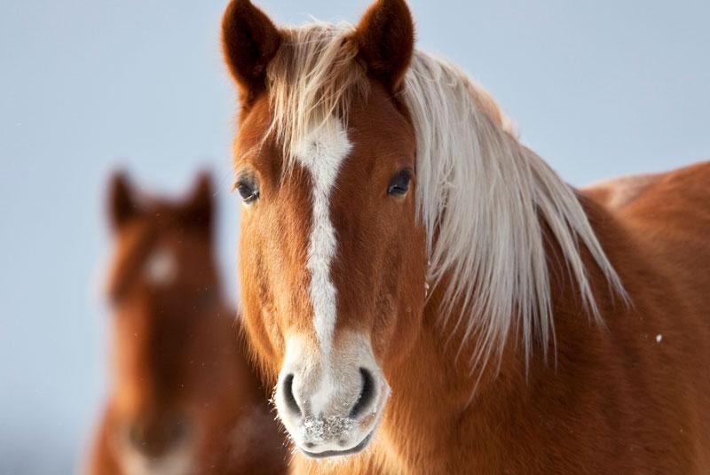 Närbild på en brun häst