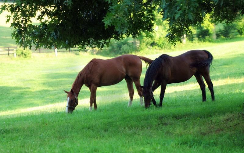 Två hästar som betar