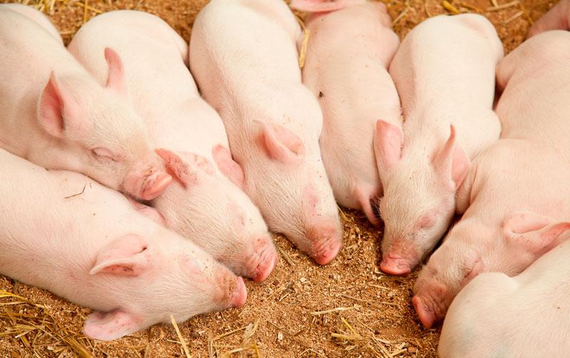 Sovande griskultingar