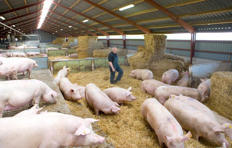 En bonde i ett grisstall