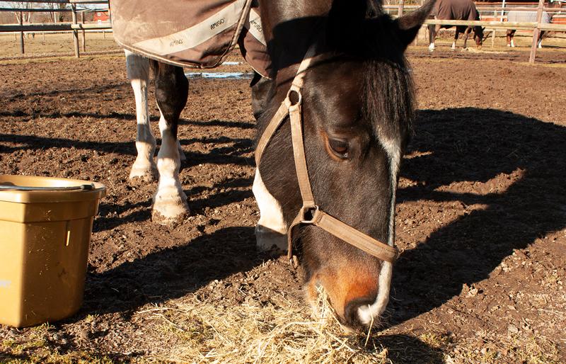 Häst i täcke som äter