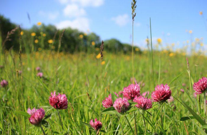 Blommande fält med rödklöver