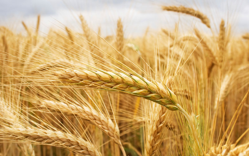 Ett fält med gyllengult korn