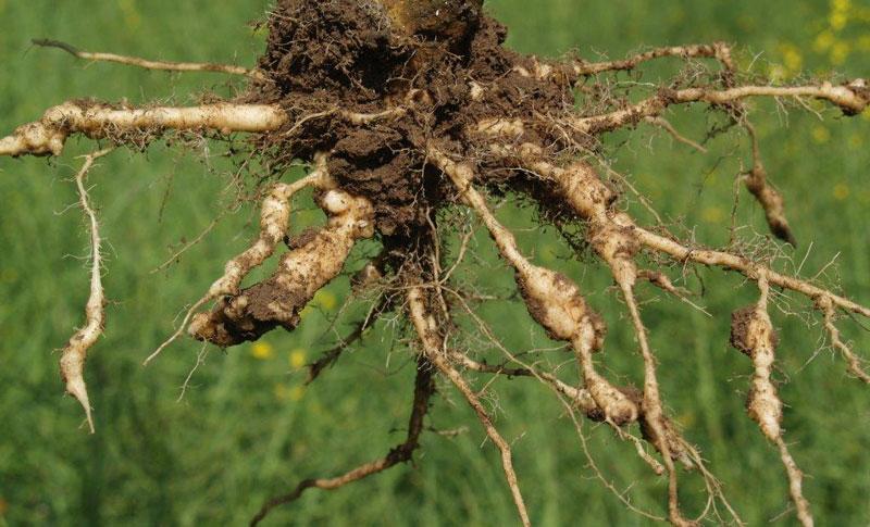 Bild på en gröda som har drabbats av klumprotsjuka