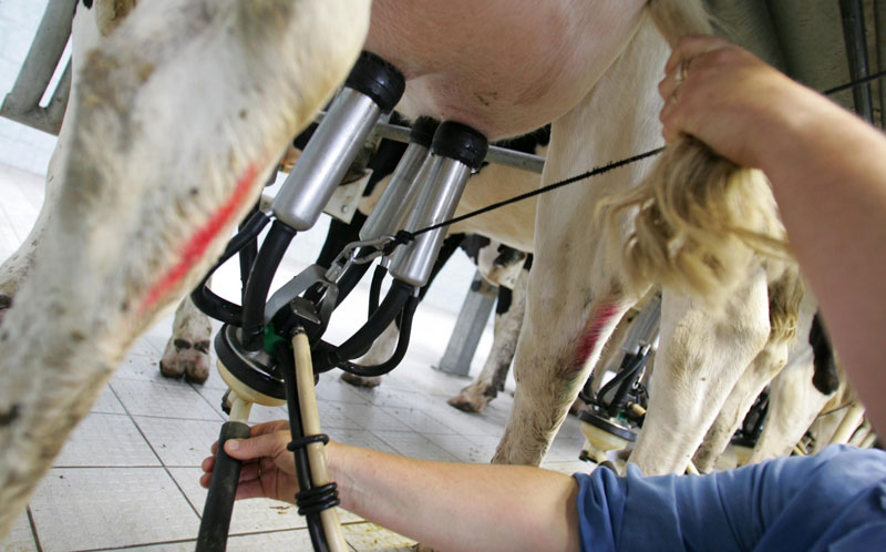 Ko som får mjölkmaskin på sitt juver