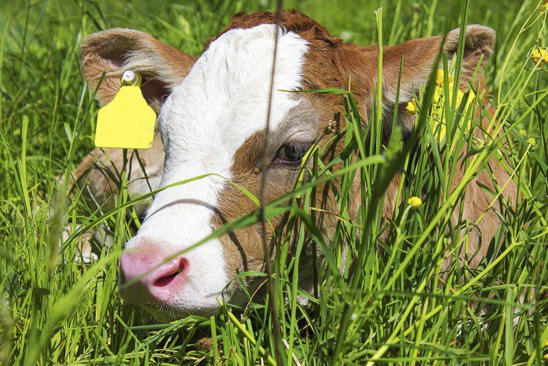 Brun kalv som ligger i högt gräs