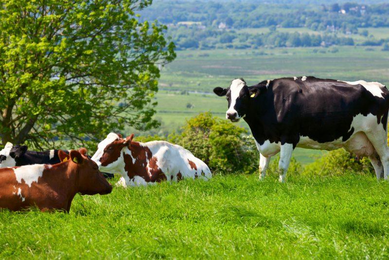 Kor på bete