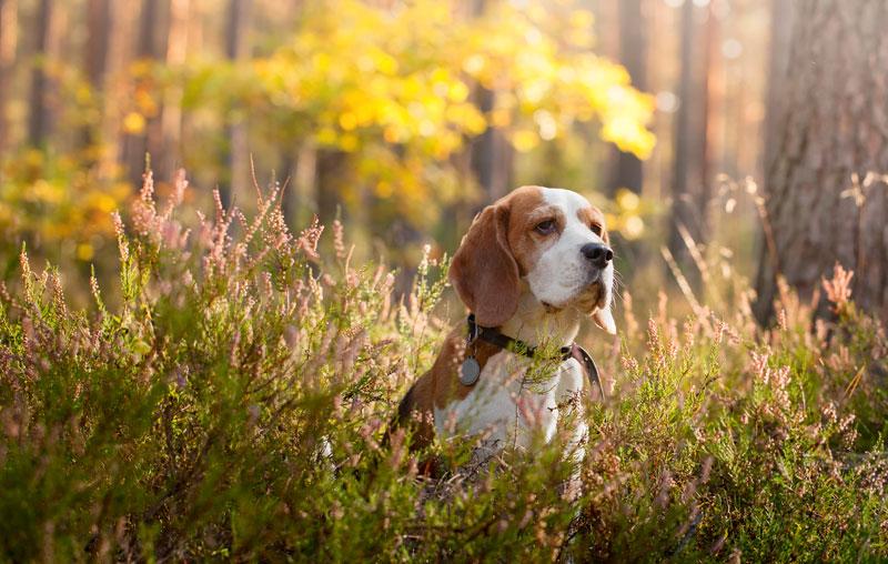 En jakthund som sitter i skogen
