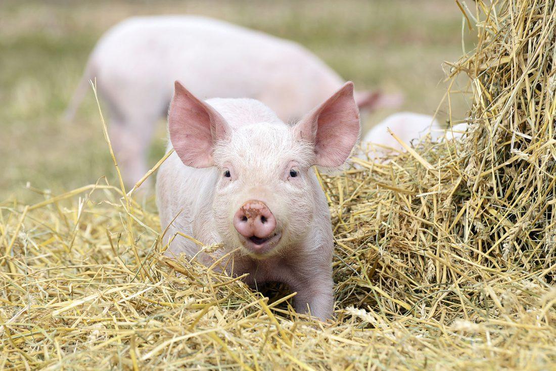 Liten glad gris på halmbädd