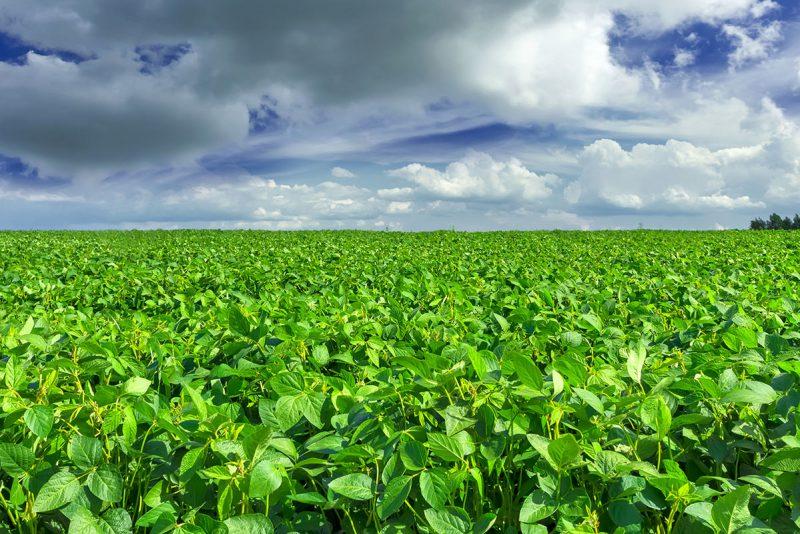 Fält med sojabönor