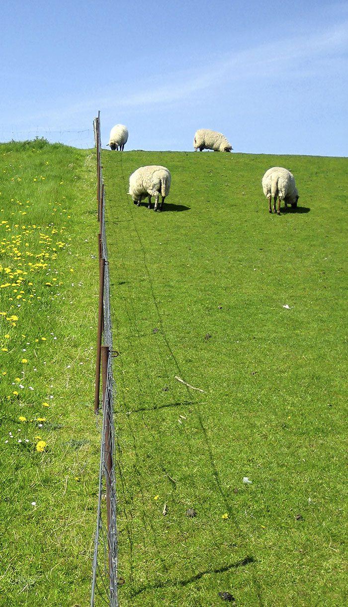 Får på grönt fält