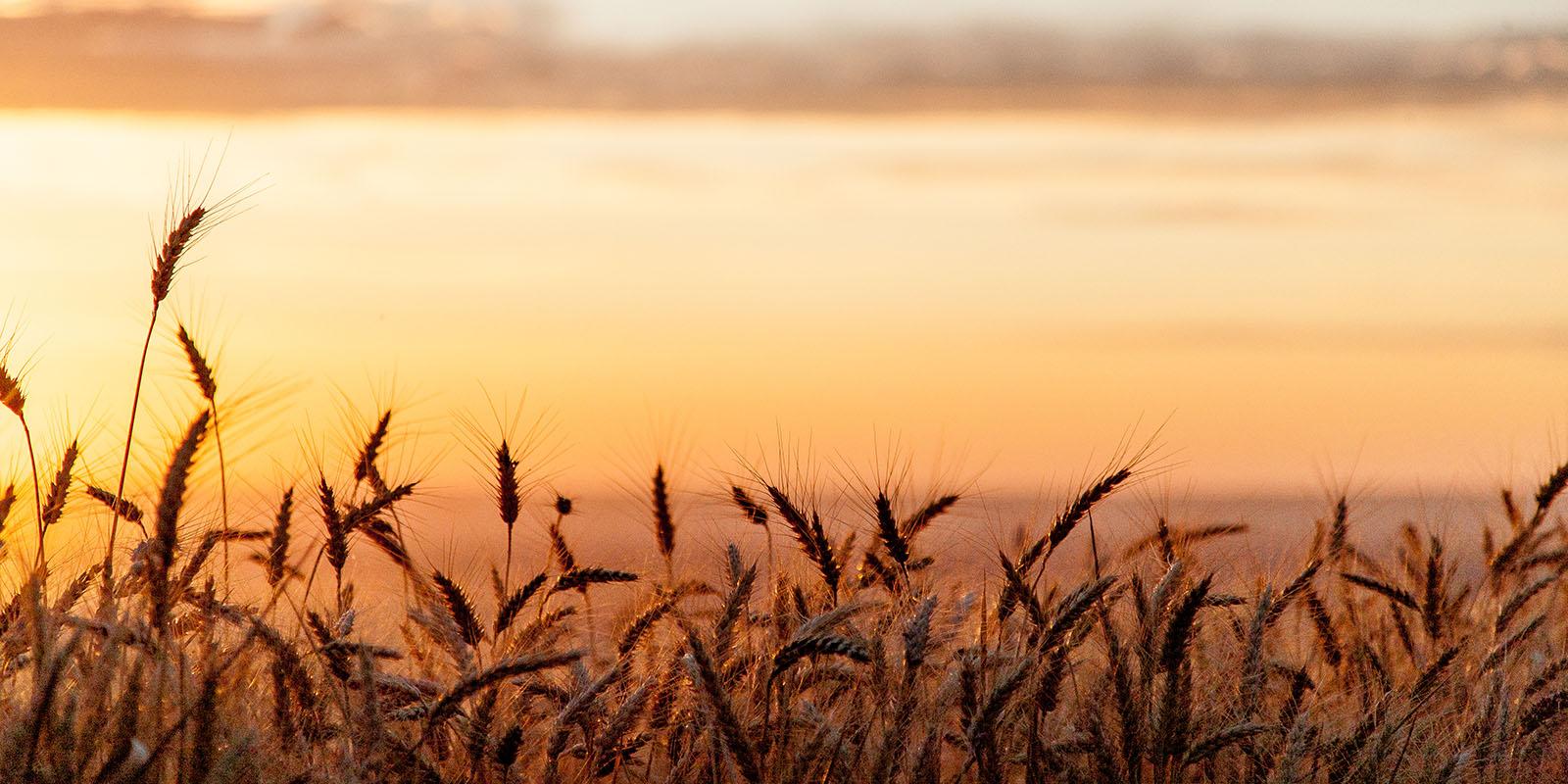 Korn i solnedgång