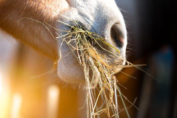 Häst som äter hö