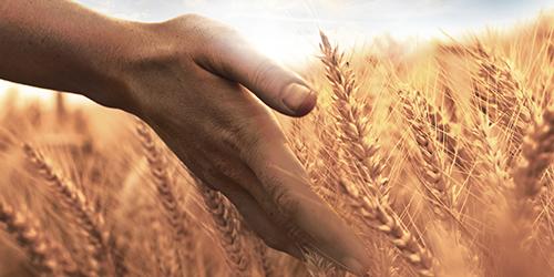 Hand i kornfält