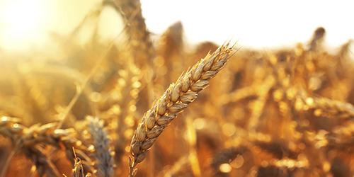 Gyllene vetefält