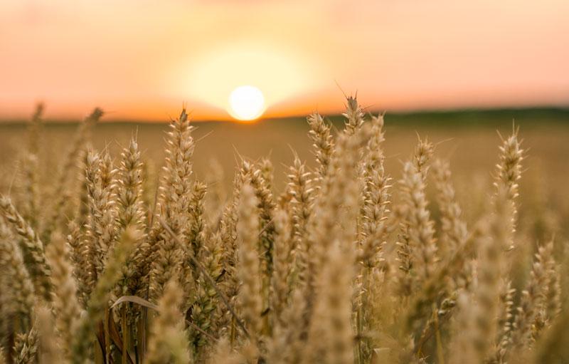 Vete_fält_solnedgång
