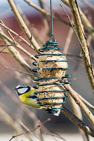 Blåmes äter från ett fågelmatare