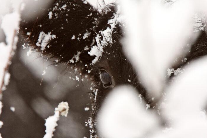 Kalv i snö