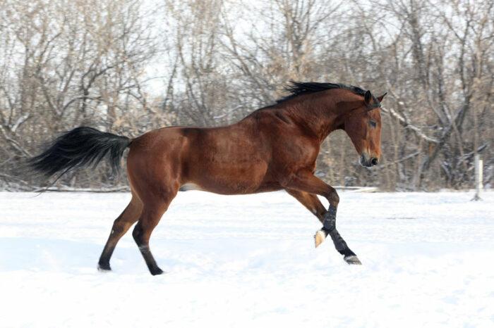 Brun häst i vinterhage