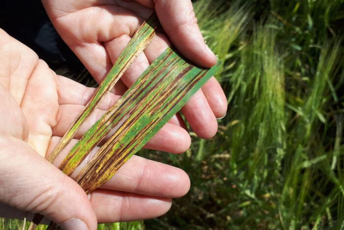 I vårkorn har det var kraftiga angrepp av kornets bladfläcksjuka och även av kornrost på vissa platser