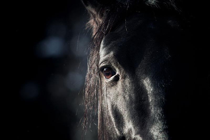 Närbild svart häst öga