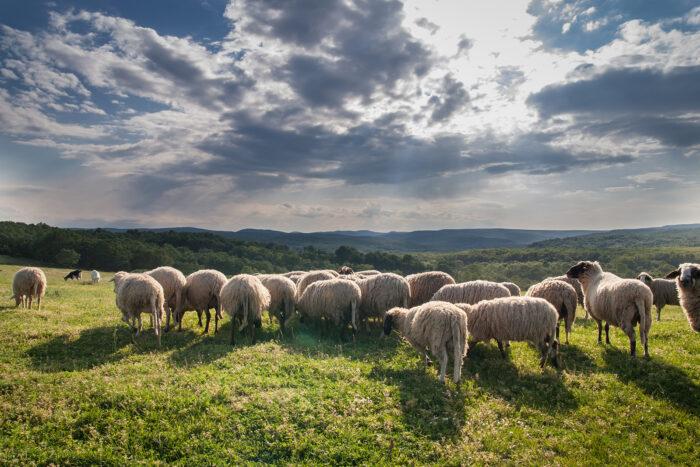 Flock med får