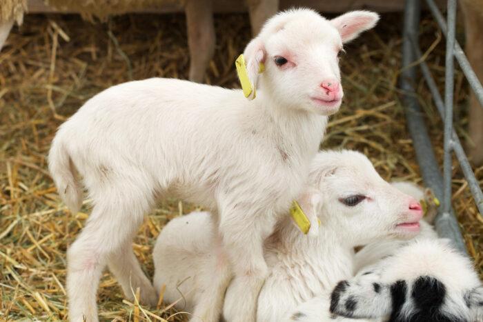 Små lamm