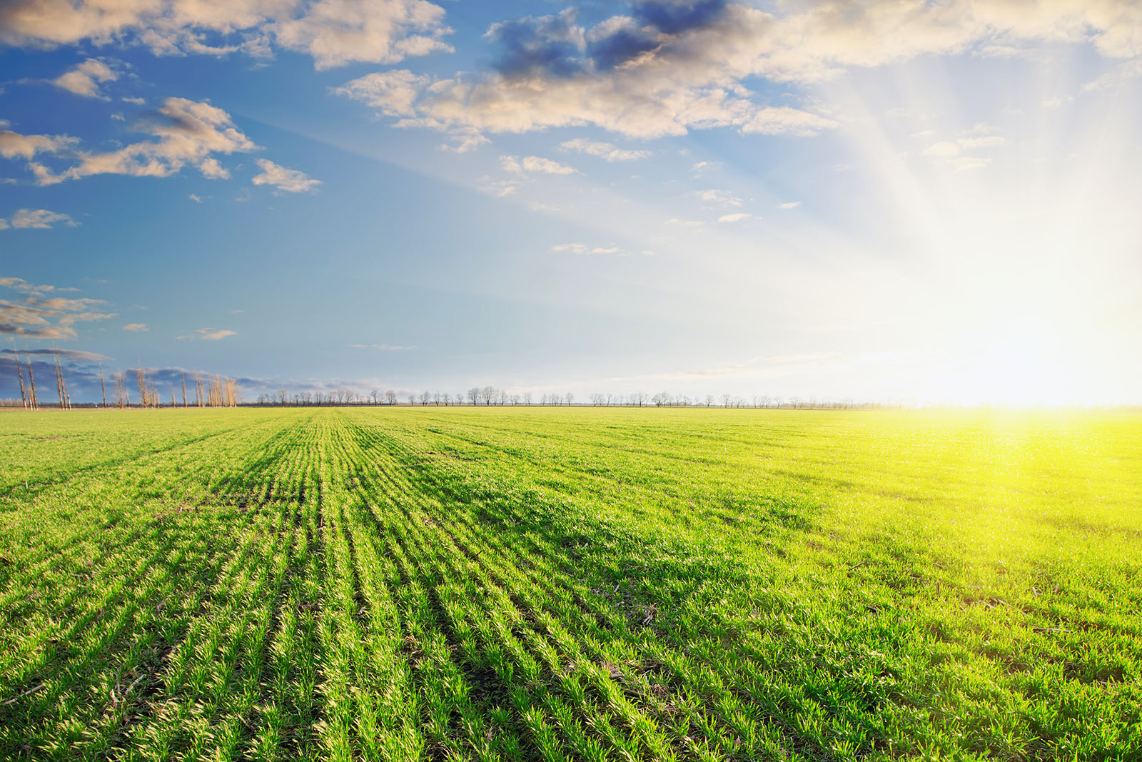 Växande spannmålsfält