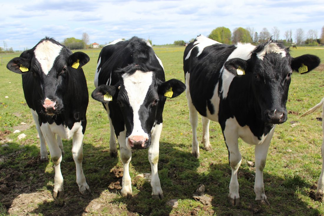 Holsteinkor på Önnestadsgymnasiet